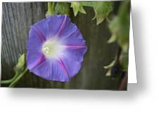 Morning Glory On Fence Greeting Card