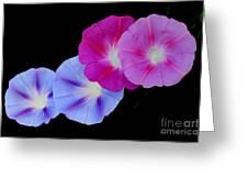 Morning Glory Quartet Greeting Card