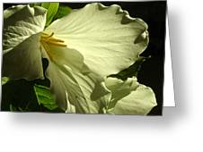 Morning Light - Trillium Greeting Card