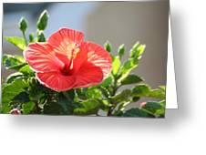 Morning Light Hibiscus Greeting Card