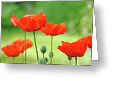 Morning Light Poppies Greeting Card