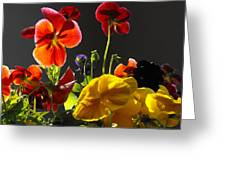 Morning Pansy's  Greeting Card