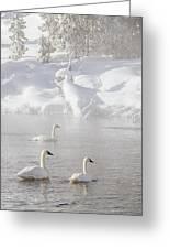 Morning Swan Trio  7845  Greeting Card