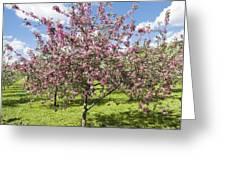 Moscow, Pink Cherries In Kolomenskoye Park Greeting Card