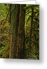 Moss Covered Giant Greeting Card