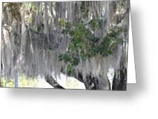 Moss Draped Tree Greeting Card