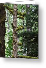Moss-draped Trees On Tiger Mountain Wt Usa Greeting Card
