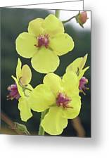Moth Mullein Wildflowers - Verbascum Blattaria Greeting Card