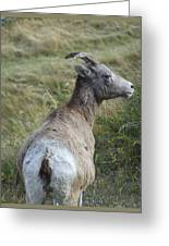 Mother Bighorn Greeting Card