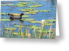 Mother Moorhen Greeting Card