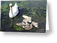 Mother Swan And Baby Cygnets Greeting Card
