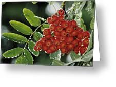 Mountain Ash Berries In Rain Greeting Card