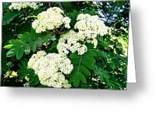 Mountain Ash Blossoms Greeting Card