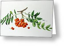Mountain Ash With Berries  Greeting Card