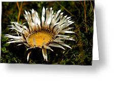 Mountain Thistle French Pyrenees Greeting Card