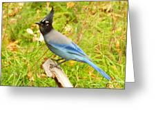 Mountain Blue Jay Greeting Card