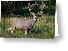 Mountain Buck  Greeting Card