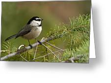 Mountain Chickadee Greeting Card by Beve Brown-Clark Photography