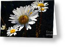 Mountain Daisy Greeting Card