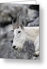 Mountain Goat At Rest Greeting Card