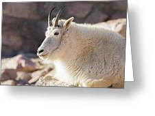 Mountain Goat Billy Basks In The Morning Sun Greeting Card
