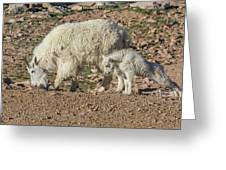 Mountain Goat Kid Stretches By Mom Greeting Card