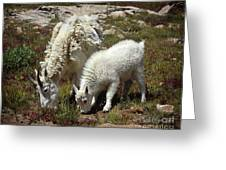 Mountain Goat Nanny And Kid Foraging At Columbine Lake - Weminuche Wilderness - Colorado Greeting Card