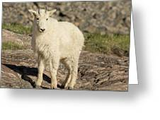 Mountain Goat Yearling Greeting Card