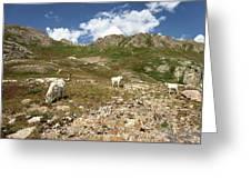Mountain Goats At Columbine Lake - Weminuche Wilderness - Colorado Greeting Card