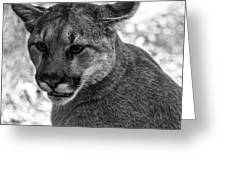 Mountain Lion Bw Greeting Card