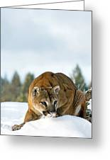 Mountain Lion In Winter Greeting Card