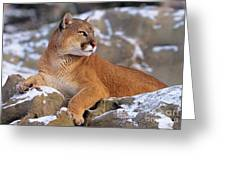 Mountain Lion On Snow-covered Rock Outcrop Greeting Card