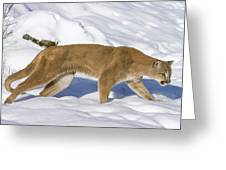 Mountain Lion Puma Concolor Hunting Greeting Card