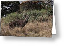Mountain Nyala Greeting Card
