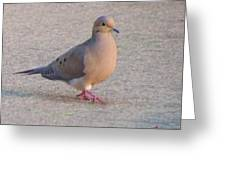 Mourning Dove     Zenaida Macrowra   Spring   Indiana Greeting Card