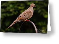Good Morning Mourning Dove  Greeting Card