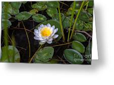 Mudd Pond Water Lily Greeting Card
