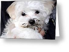 Muddy Maltese Greeting Card