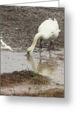 Muddy Tundra Swan Greeting Card
