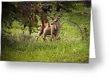 Mule Buck Deer Greeting Card