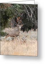 Mule Deer Buck Greeting Card