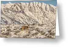 Mule Deer Buck In Winter Sun Greeting Card