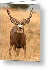 Mule Deer Buck Showing His Thoughts Greeting Card