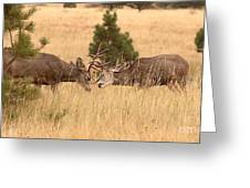 Mule Deer Bucks Sparring In Open Pine Woodlands Greeting Card