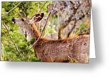 Mule Deer Foraging On Pine On A Colorado Spring Afternoon Greeting Card