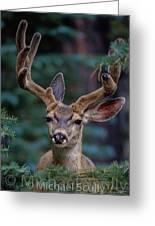 Mule Deer In Velvet 02 Greeting Card