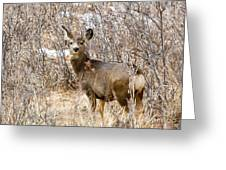 Mule Deer In Winter In The Pike National Forest Greeting Card