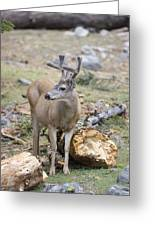Mule Deer Odocoileus Hemionus Buck Greeting Card