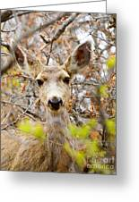 Mule Deer Portrait In The Pike National Forest Greeting Card