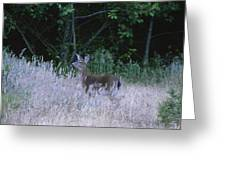 Mule Deer - Sinkyone Wilderness Greeting Card